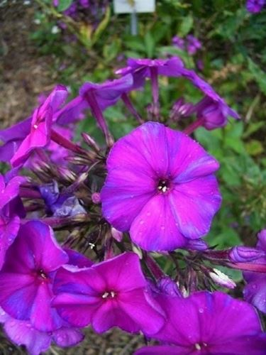 phlox paniculata duesterlohe