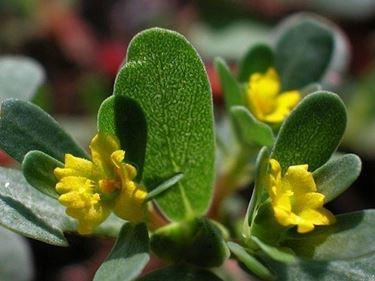 Dettaglio infiorescenze Portulaca oleracea.