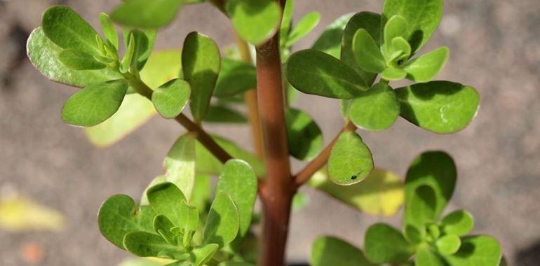 <h6>Portulaca oleracea</h6>La Portulaca oleracea � soprannominata anche porcellana comune. Parte della pianta � commestibile ed � possibile utilizzarla in cucina per la creazione di ricette!