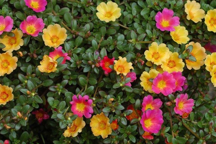 Portulaca perenne fiorita