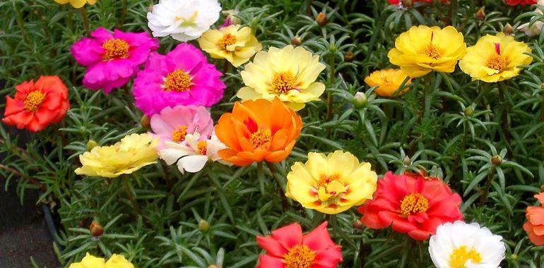 <h6>Portulaca perenne</h6>Facile da coltivare e di grande effetto, scopri con noi la Portulaca perenne.