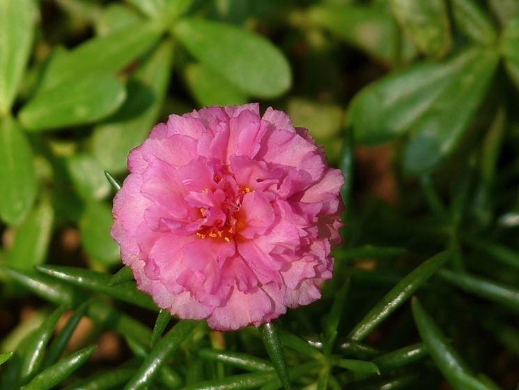 portulaca fiore doppio