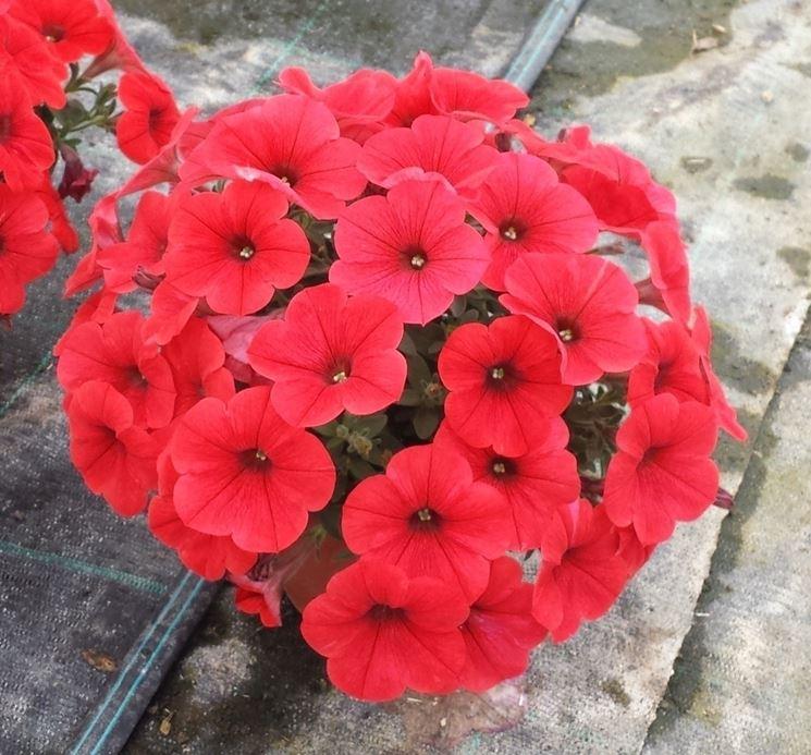 fiori potunia