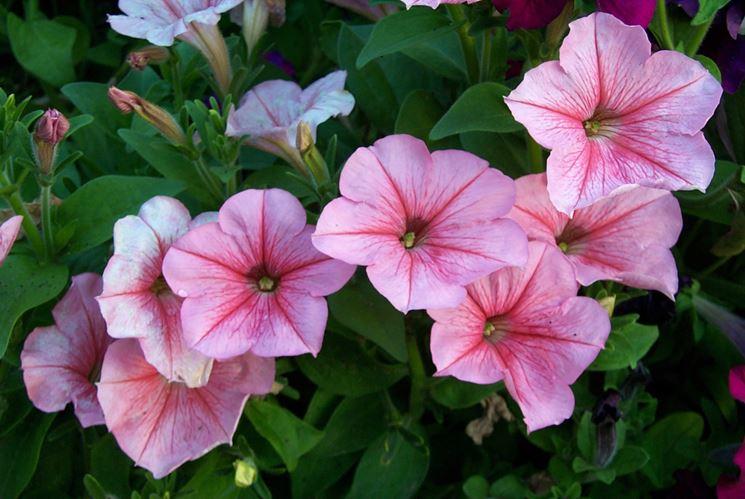 Pianta petunia