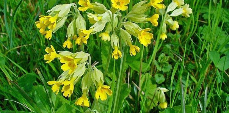<h6>Primula veris</h6>Primula Veris o Primula gialla, un fiore semplice da coltivare ma di grande bellezza.