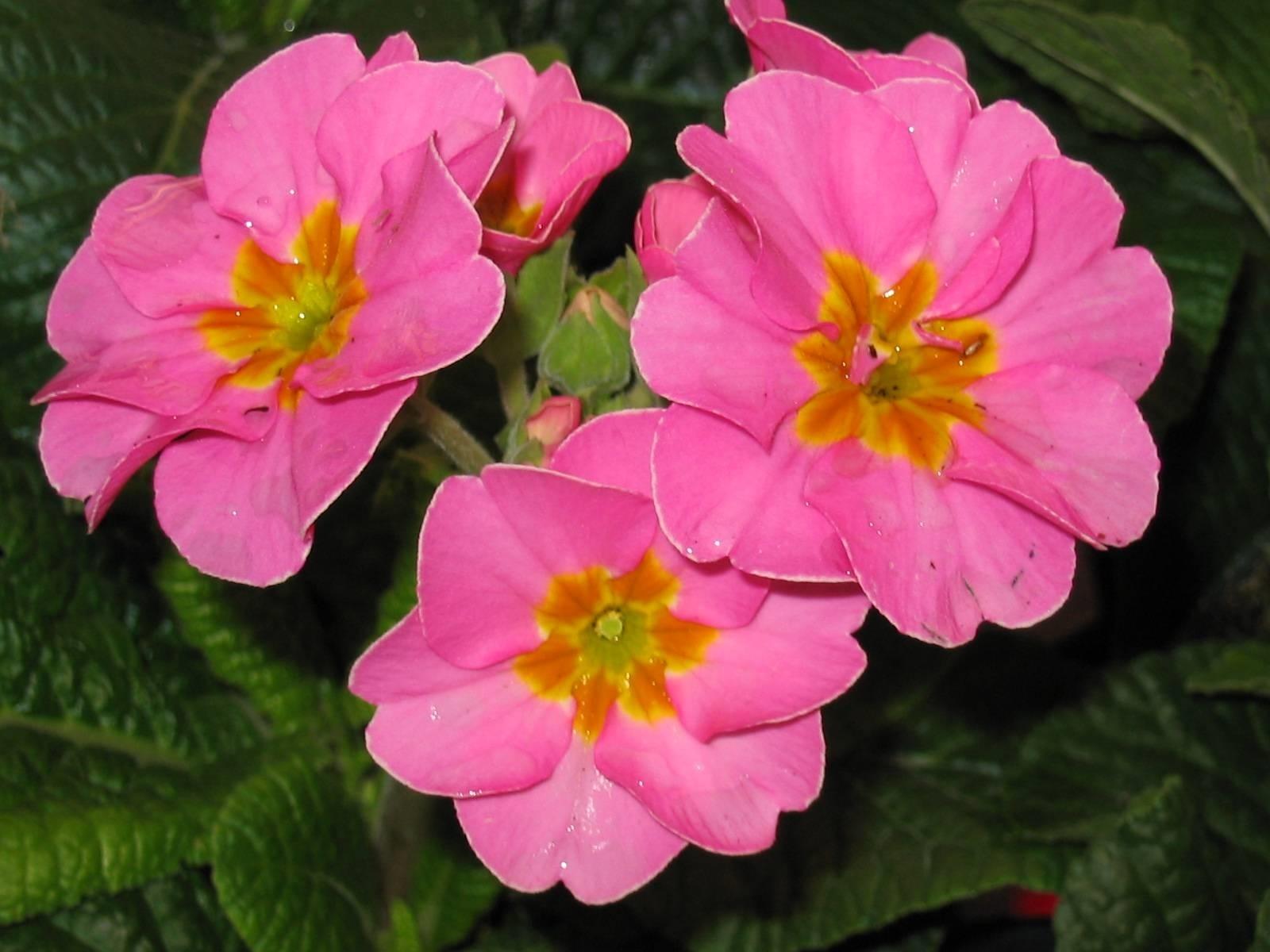 Primula primula polyantha piante annuali for Primule immagini