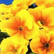 fiore primula