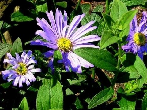 Settembrini aster frikartii piante annuali - Settembrini fiori ...