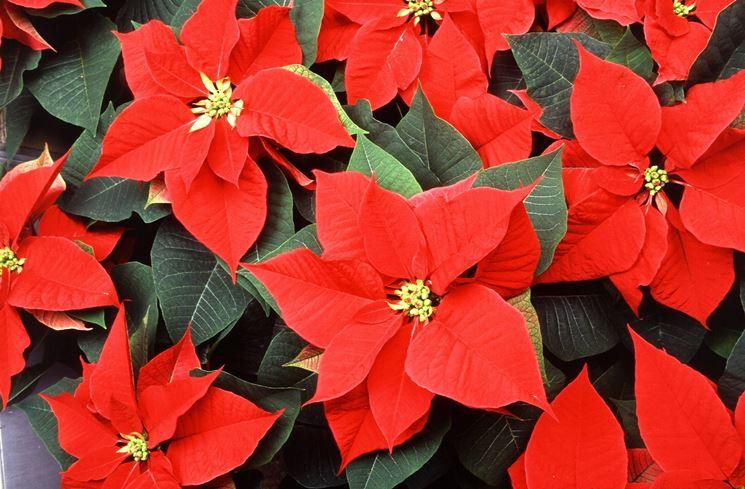 Stella Di Natale Cura E Manutenzione.Stella Di Natale Cura Piante Annuali Come Curare La Stella Di Natale