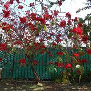 Albero di Poinsettia