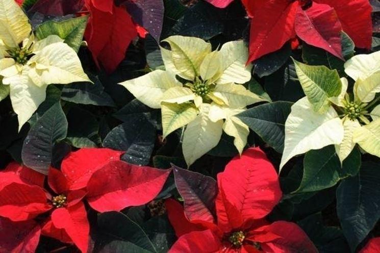 Poinsettia bianca e rossa