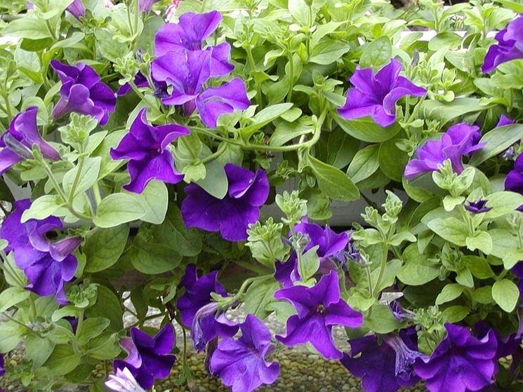 fiori surfinia viola