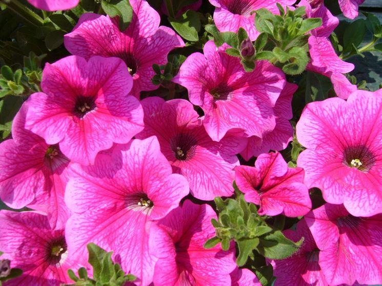surfinia rosa fiorita