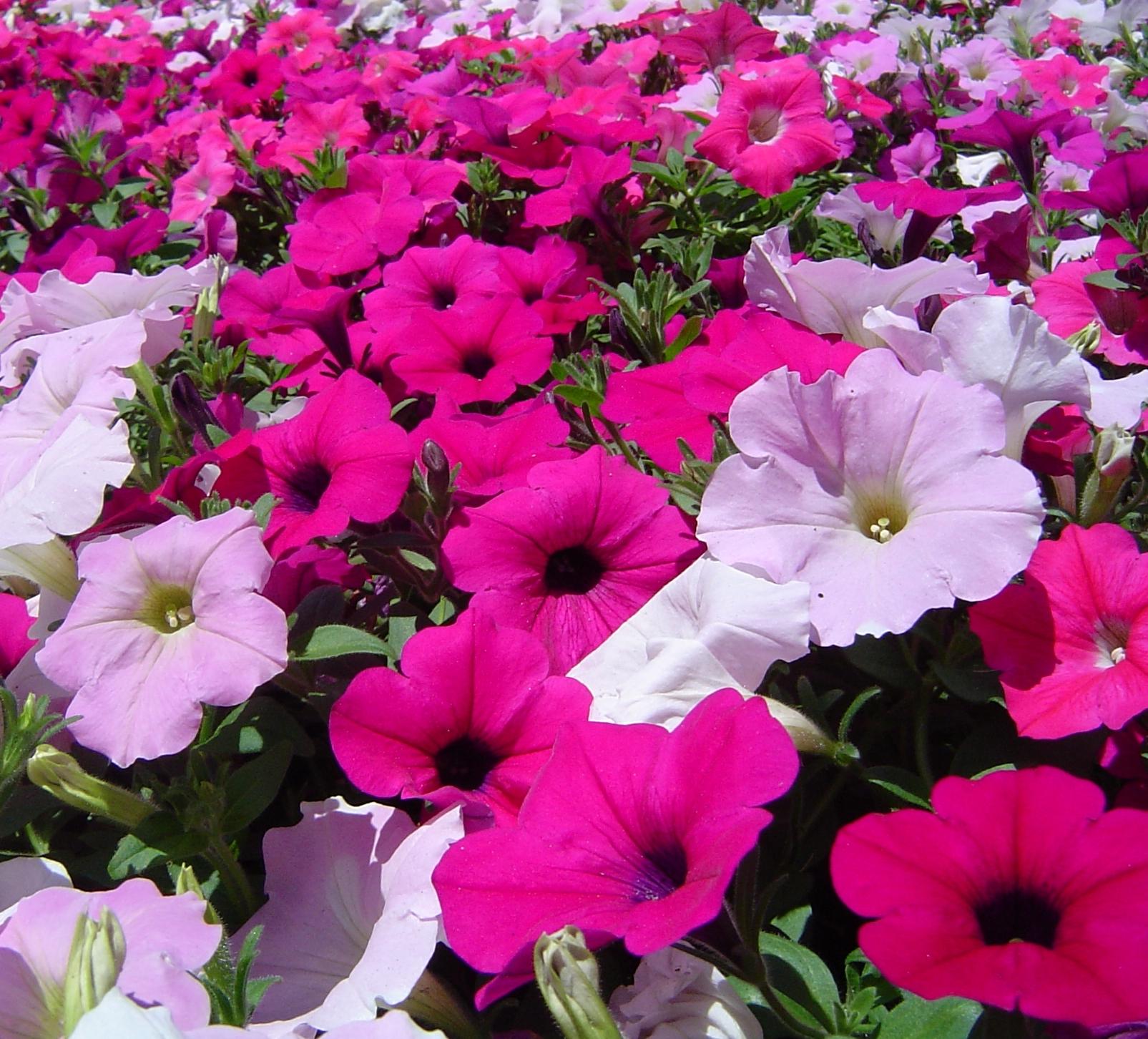 Surfinia surfinia piante annuali for Piante annuali