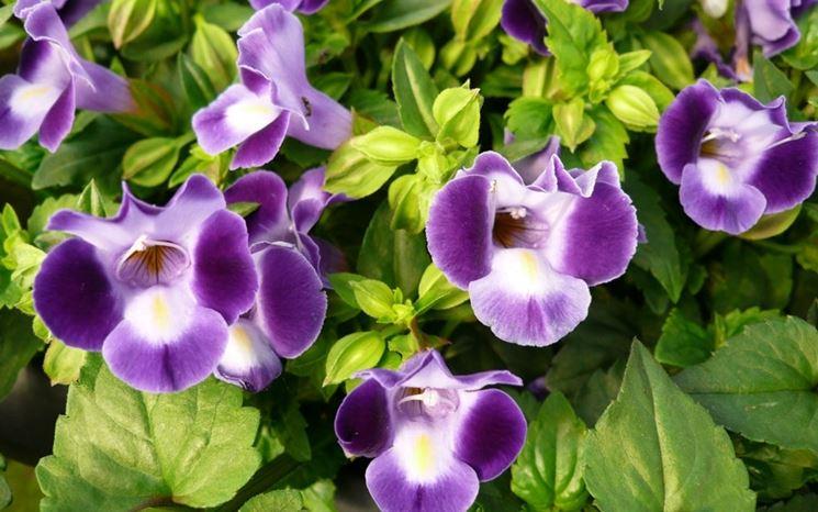 torenia viola