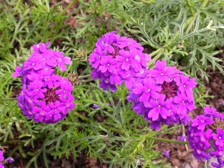 verbena verbena piante annuali caratteristiche della