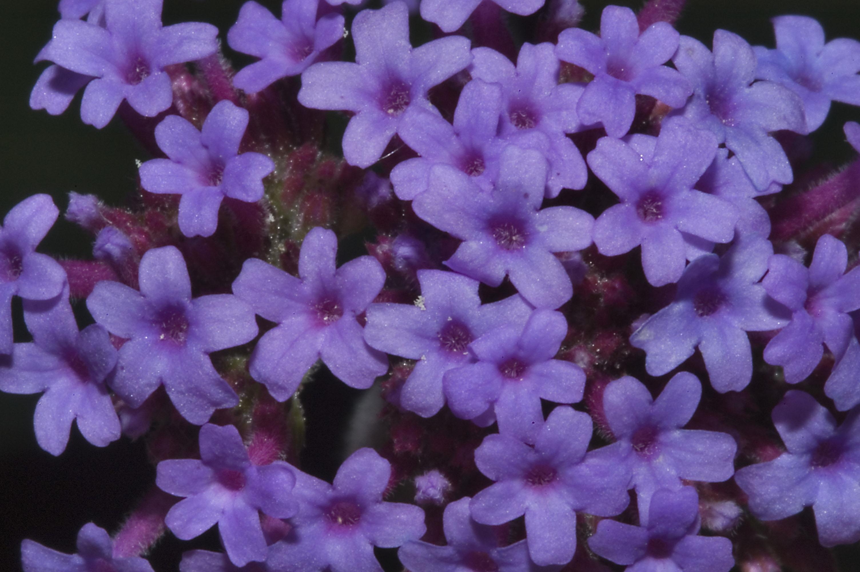 Verbena verbena piante annuali - Verbena pianta ...