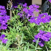 verbena fiore