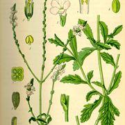 verbena pianta