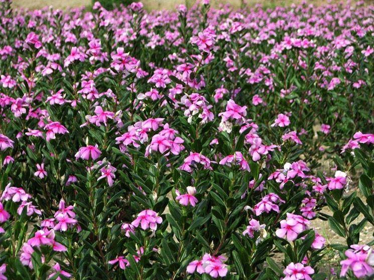 Vinca rosea piante annuali pervinca del madagascar for Pervinca pianta
