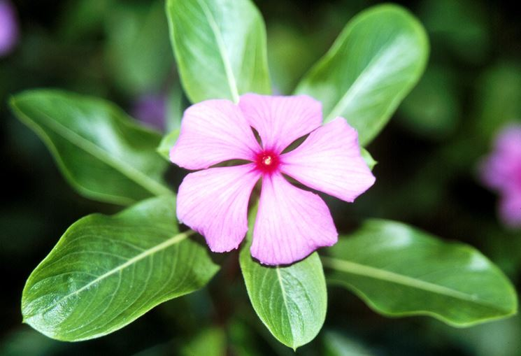 pervinca titan bush