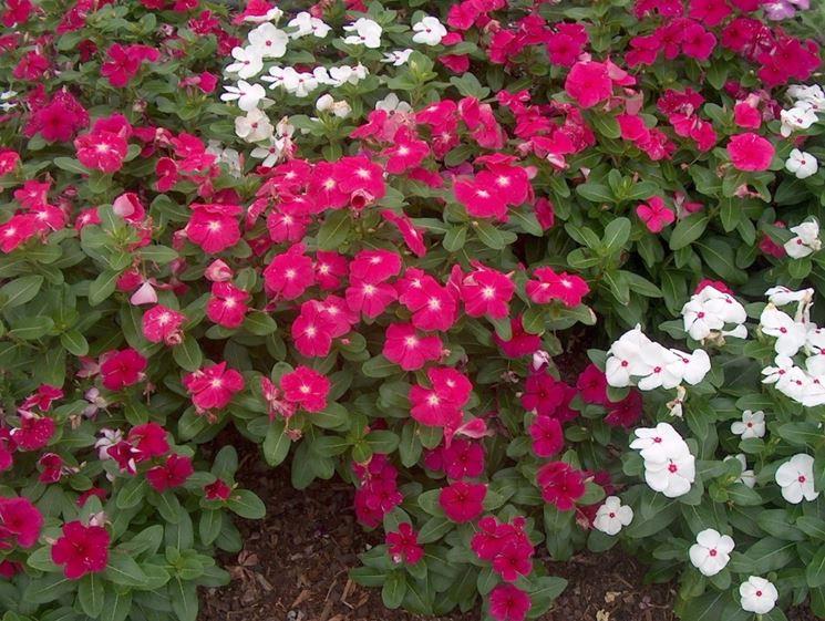 mix di colori vinca rosea