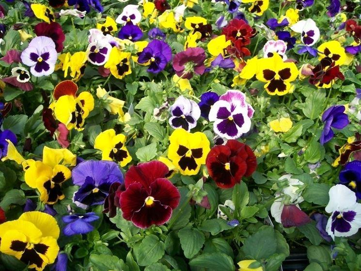 viole fiorite