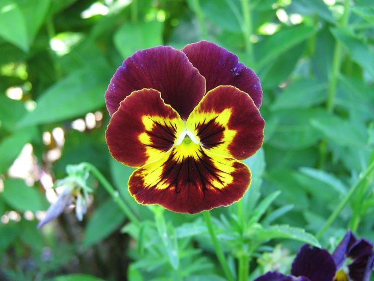 fiore della viola