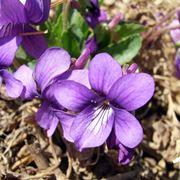 Il fiore della viola