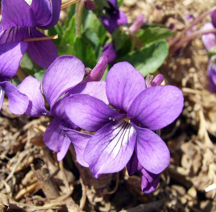 Nomi Fiori Viola.Viola Fiore Piante Annuali Fiore Viola