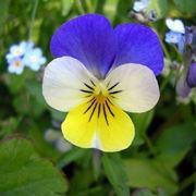 Viola tricolor - fiore