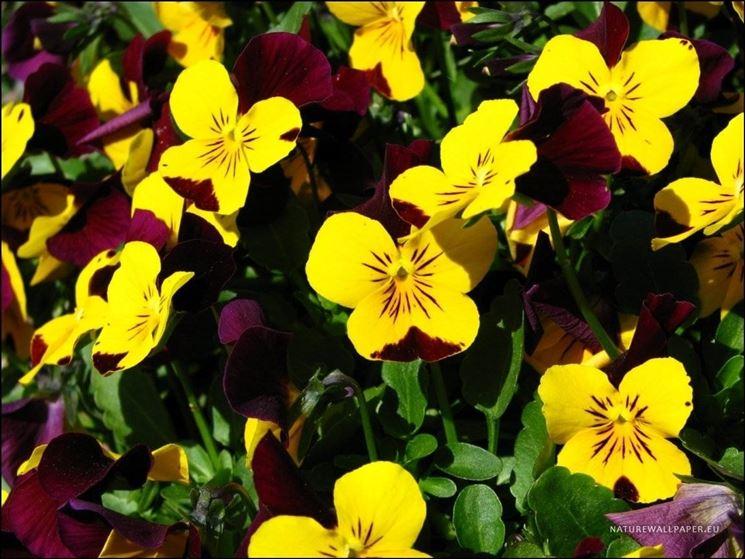Varietà di viola tricolor