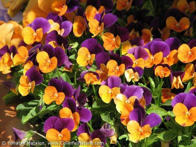 I colori della viola tricolor