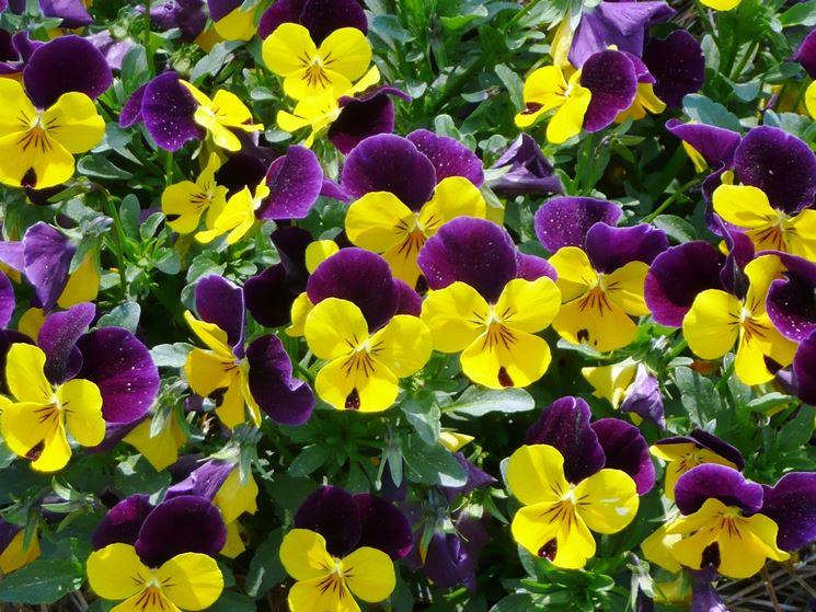 viola fiore piccolo