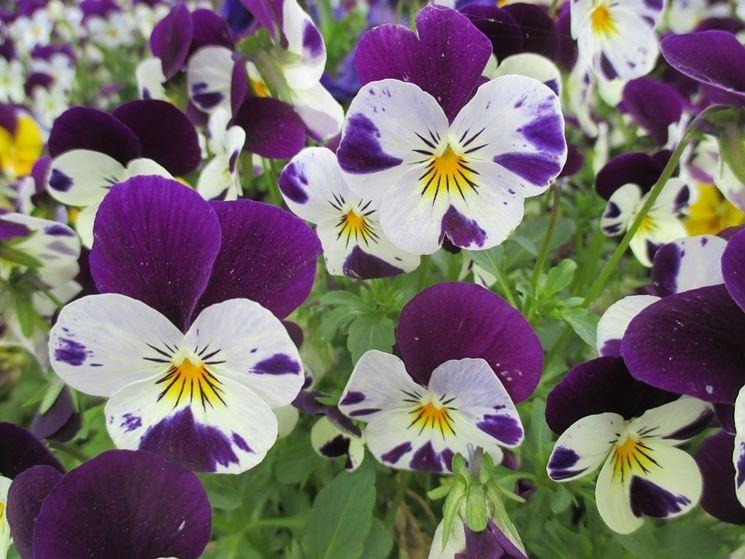 viole fiore piccolo