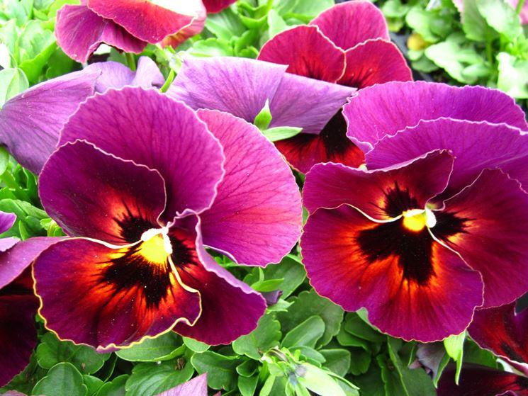 viola fiore grande rosso