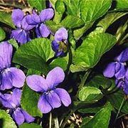 Viola fiorita