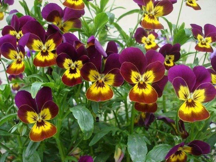 Mix di Violette fiorite