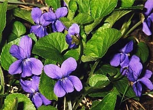 violetta-fiore_O1.jpg (500×361)
