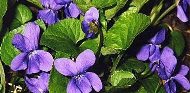 <h6>Violetta fiore</h6>Vuoi conoscere e coltivare il fiore della violetta? Scopri con noi come fare
