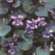 violette fiori