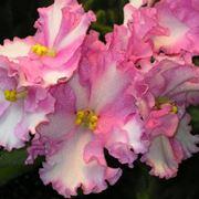 Violetta saintpaulia piante annuali violetta for Violetta africana