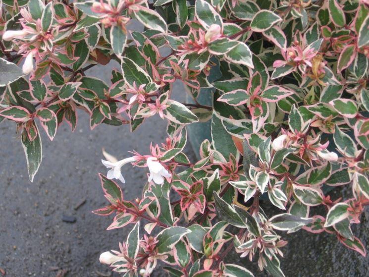 Abelia fertilizzata