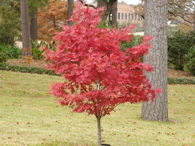 Acero giapponese piante da giardino coltivare acero for Acero rosso canadese prezzo