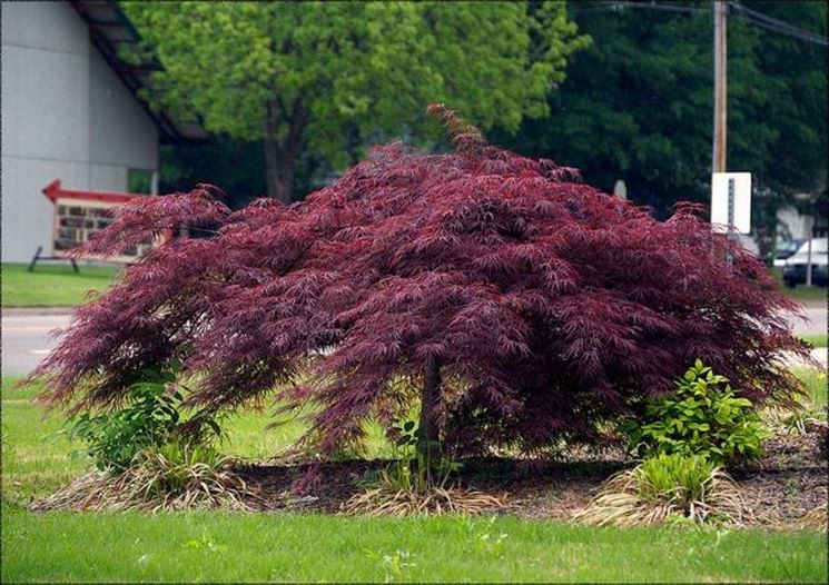 Acero palmato dalle foglie porpora