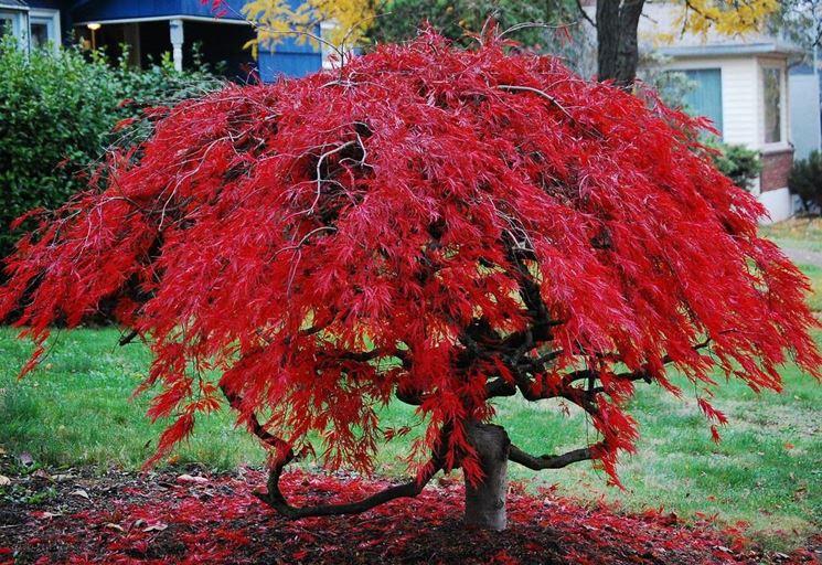 Esemplare di <em>acero palmato</em> dalle foglie rosse