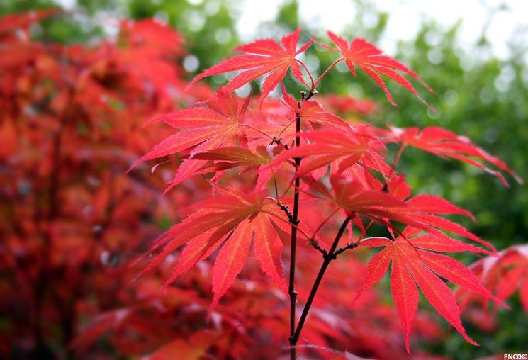 Particolare delle foglie di acero palmato