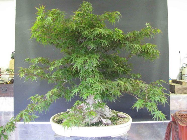 Esemplare di acero palmato bonsai