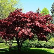 Acero palmato piante da giardino caratteristiche acero for Piante da giardino perenni resistenti al freddo