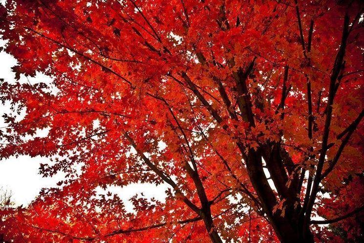 Acero rosso acer buergerianum piante da giardino for Acero rosso canadese prezzo